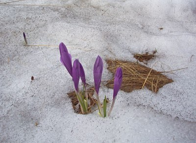 2596933-buds-of-crocuses-sprout-through-a-snow